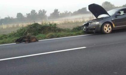 Auto investe un cinghiale tra Dairago e Busto Arsizio