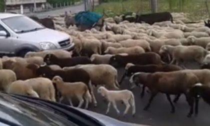 Cerro, centinaia di pecore attraversano la strada