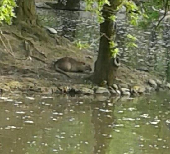 Legnano un castoro nel laghetto del parco castello no for La casa nel laghetto