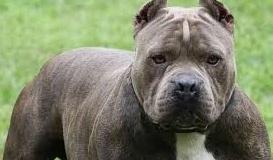 Olgiate Olona, aggredite dai pitbull mentre giocavano in giardino: le vittime hanno 3 e 5 anni