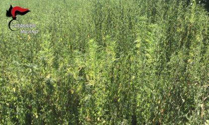 Ossona, carabinieri scoprono mille piante di marijuana usando un drone