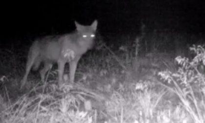 Parco del Ticino, dopo secoli  ritornano i lupi: il VIDEO