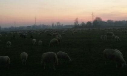 Pogliano, il paese diventa un pascolo per le pecore
