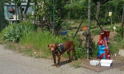 Rho, Pitbull abbandonato vicino al gattile