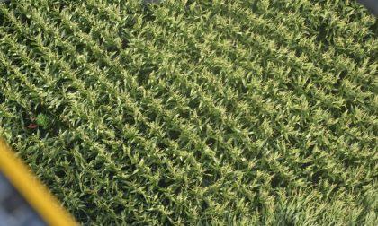 Sequestrata piantagione di marijuana a Bareggio