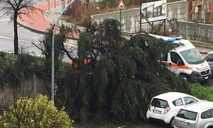 Vittuone, crolla un grosso albero in via Milano
