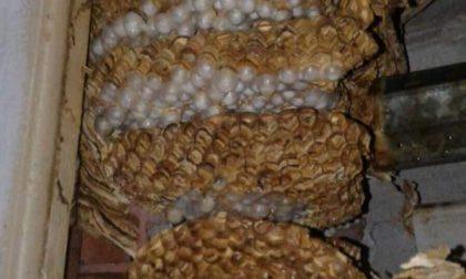 Nido di calabroni pericoloso a Canegrate: bonificato