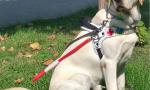 Cani guida fedeli amici di libertà salgono in cattedra al liceo