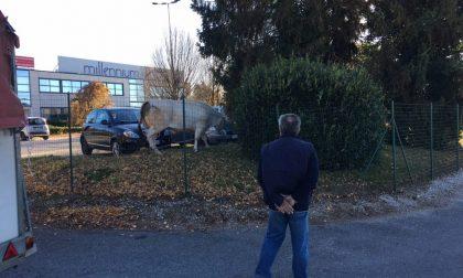 Mucca in fuga dal macello abbattuta dopo due ore FOTO