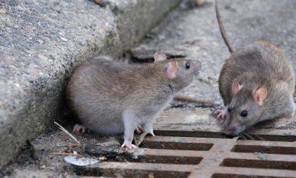 Topi e ratti nel centro storico, come difendersi