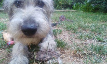 Smarrita Saronno aiutateci a ritrovare la cagnolina Susanna