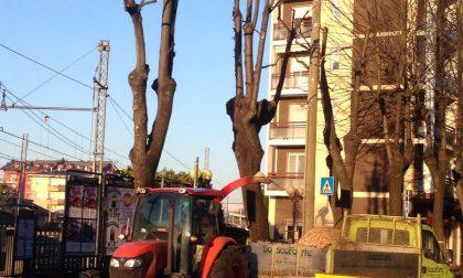 Continuano le potature: nuovo look per i tigli di viale Marconi e via Trieste