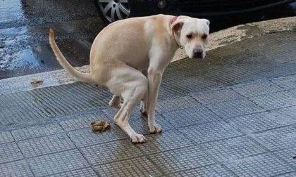 Escrementi di cani: database di dna a Malnate