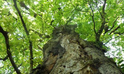 """Due alberi cittadini hanno acquisito lo status di """"Monumentalità"""""""