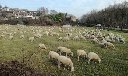 A curare il verde pubblico ci pensano... le pecore