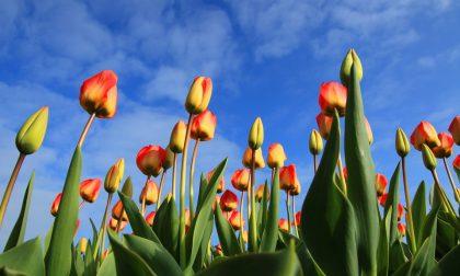 I Tulipani Italiani tornano a Cornaredo per la gioia di tutti
