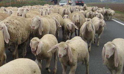 Carcasse di pecore nel bosco del Rugareto