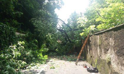 Albero cade a Tradate, strada chiusa fino al ripristino della sicurezza