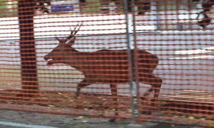 Cervo per strada a Milano, catturato e portato al Wwf di Vanzago