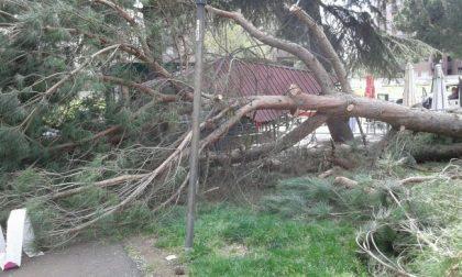 Dopo il crollo di un pino sul chiosco, il Comune taglia gli alberi