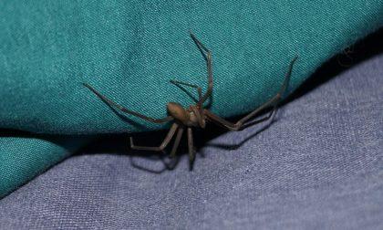 Docente morsa da un ragno misterioso a Gorla Maggiore