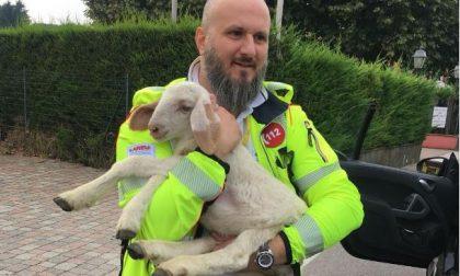 Ex soccorritori Cri Legnano salvano un agnellino