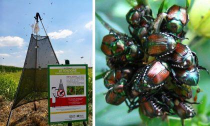 Cisliano dichiara guerra al coleottero giapponese che danneggia le piante