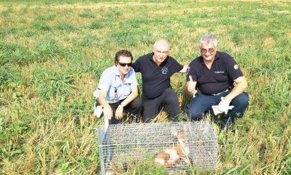 Cucciolo di volpe ferito salvato a Rho VIDEO DEL SOCCORSO