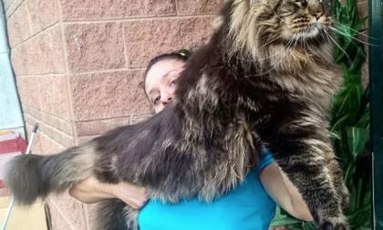 Il gatto più lungo del mondo è lombardo FOTO
