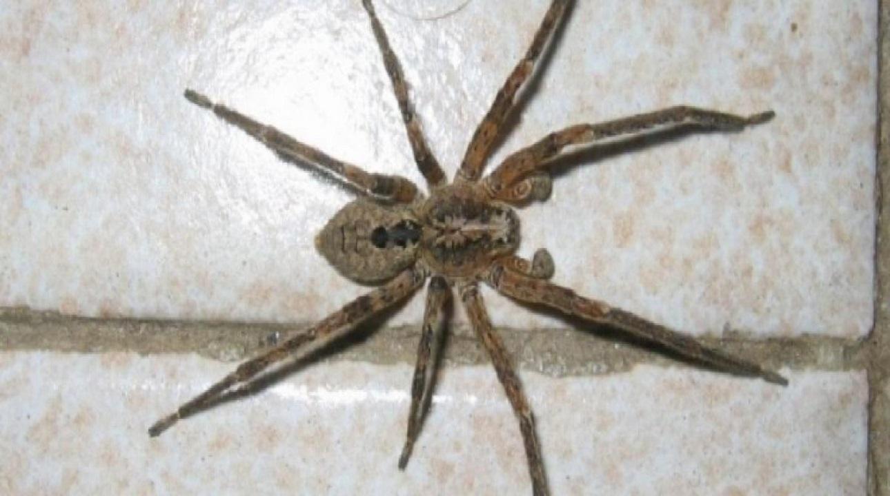 Morsa da un ragno violino mentre era allo zero settegiorni - Immagini del ragno da stampare ...