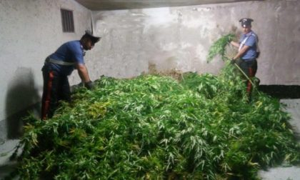 Maxi sequestro di marijuana