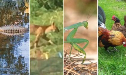 Il coccodrillo varesino, il puma comasco e… altri animali mitologici