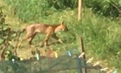 Misterioso felino avvistato nei boschi, potrebbe trattarsi di un puma