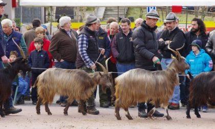 Torna la fiera della capra orobica (è il miglior animale… dopo la donna) VIDEO