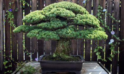 Vermezzo, corso sui bonsai con Monelli Felici