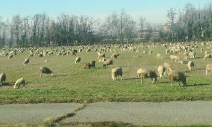 Pecore a spasso nei campi lungo la provinciale