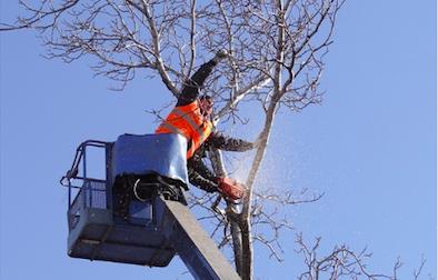 Piano del verde: al via la potatura degli alberi a Legnano