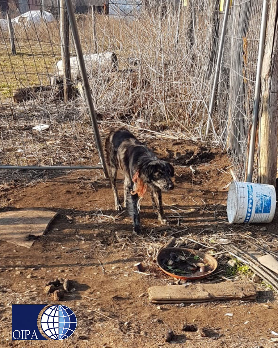 Cane alla catena in un agritursmo del basso varesotto