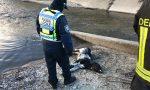 Vitello morto lungo il canale a Settimo Milanese FOTO