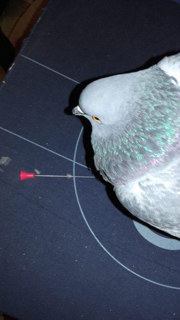 Spari al piccione nel centro di Rho