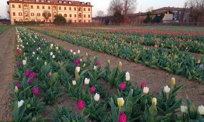 Il campo dei tulipani prossimo all'apertura