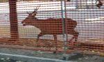 Cervo a spasso sul Sempione, passanti increduli a San Vittore Olona e Legnano