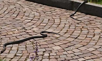 Serpenti al cimitero vanno a spasso tra le tombe