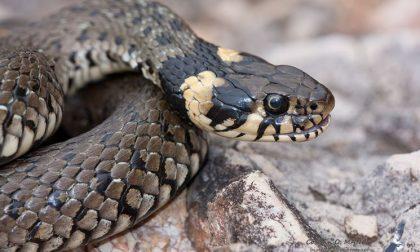 Serpente in un ripostiglio a Locate, liberato
