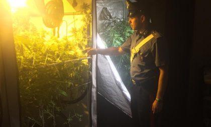 Scoperta piantagione di marijuana a Carnago