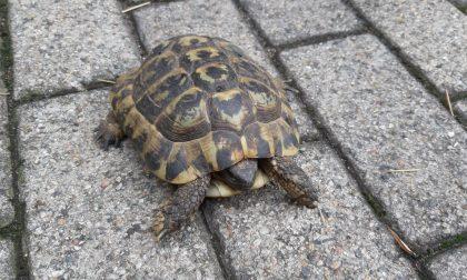 Tartaruga senza microchip ad Arese: comprata illegalmente?
