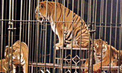 Circo a Saronno: centopercento animalisti contro Fagioli