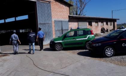 Vitelli incatenati in un'azienda agricola di Busto: denunciato grazie alla segnalazione di alcuni bambini