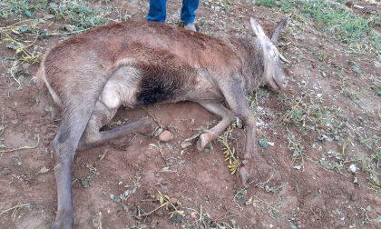 Trovato cervo morto senza un corno