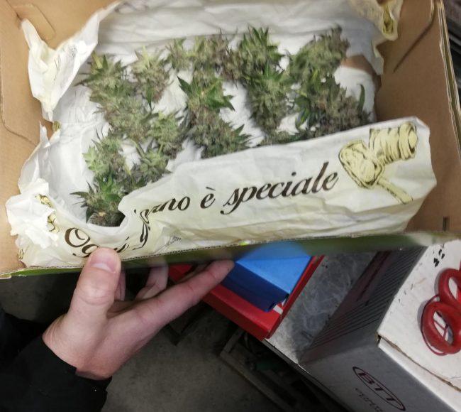 Castano Primo, marijuana in garage